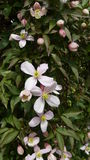 Soft pink clematis. The soft pink clematis attached to it's green vine is perfect Stock Photos