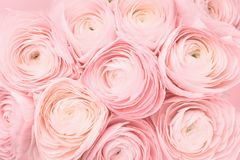 Free Soft Pink Colored Peony Rose Or Buttercup Flowers Background Royalty Free Stock Photo - 167408525