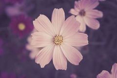 Soft Pink cosmos flowers in gardent color tone vintage  style Royalty Free Stock Photos