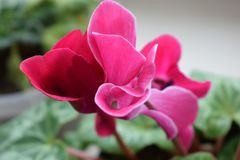 Soft pink cyclamen flower stock image