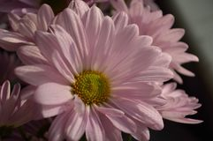 Soft Pink Daisies. A vase of beautiful, pink daisies with soft rounded petals royalty free stock photo