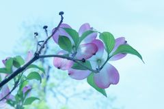 Soft pink dogwood bossoms on a branch in the springtime - blurred background royalty free stock image