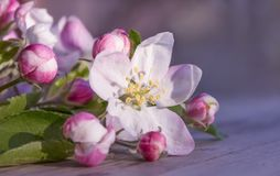 Soft pink flowers of apple tree lie on a wooden gray table on a blurred purple and pink background. Beautiful spring bokeh stock image