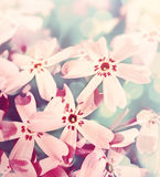 Soft pink flowers Royalty Free Stock Photo