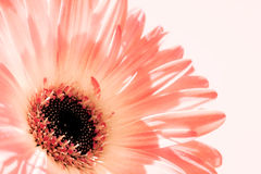Soft Pink Gerber Daisy Stock Photo