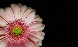 Soft Pink Gerbera Daisy Close-up on Black Background Stock Photography
