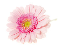 Soft pink gerbers isolated on a white background Stock Image
