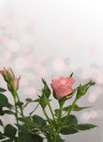 Soft pink and grey bokeh rose valentines day card background with stem and leaves Stock Image