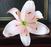 Soft pink lily. Placed in front of a wedding album, taken in natural light with reflected light Royalty Free Stock Photo