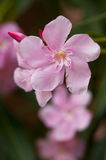 Soft Pink Nerium Oleander Flower Royalty Free Stock Images