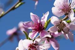 Peach Blossom Blue Sky Royalty Free Stock Image