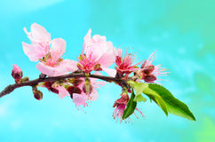 Peach Tree in Bloom Stock Photo
