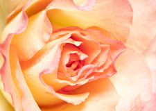 Soft pink rose. Soft pink fresh rose close up Royalty Free Stock Photo