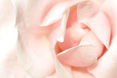 Soft pink rose. Beautiful delicate soft pink rose, excellent background Stock Images