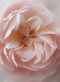 Soft pink rose close up royalty free stock images