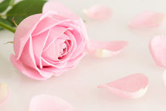 Soft pink rose and leaves. Series Royalty Free Stock Photo