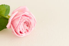 Soft pink rose with water drops Stock Photo
