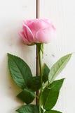 Soft pink rose on white wood. Pink rose on white wood - series Royalty Free Stock Image