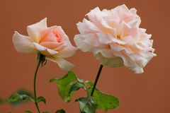 Soft pink roses Royalty Free Stock Photo