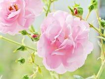 Soft pink roses closeup Stock Photo