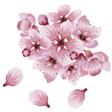 Soft Pink Sakura Flowers Stock Image