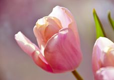 Soft Pink Tulip Stock Images