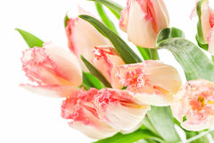 Soft pink tulip flowers on white background Stock Photography