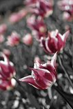 Soft pink tulips. Lovely muted pink tulips in a large garden bed Stock Photos