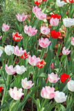 Soft pink Tulips. Stock Images