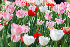 Soft pink Tulips. Royalty Free Stock Image
