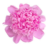 Soft pink wet peony flower macro isolated Royalty Free Stock Image