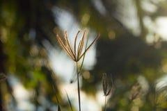 Soft poaceae blur bokeh Stock Photo