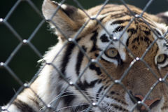Soft poignant image of a caged tiger. Animal in captivity. Captive tiger behind a fence Royalty Free Stock Photos