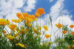 Soft poppies with sky. A soft, ethereal image of brilliant yellow and orange poppies under a bright blue sky dotted with white clouds Royalty Free Stock Photography