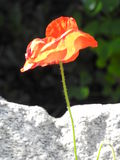 The soft poppy facing the stone Stock Photography