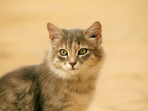 soft  portrait  beautiful fur cat Royalty Free Stock Image