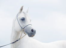 Soft portrait of white wonderful arabian horse at sky background Royalty Free Stock Photo