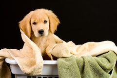 Soft Puppy Stock Images