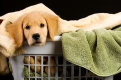 Soft Puppy Stock Photography