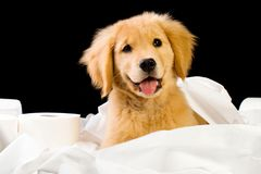 Soft Puppy in Fluffy Toilet Paper. A cute young Golden Retriever Puppy in a pile of Toilet Paper royalty free stock photography