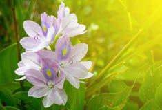 Soft purple flower. Close-up soft purple flower and soft light background stock photo