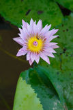 Soft  Purple lotus flower and bee in pond. Colorful Purple lotus flower  and bee in pond Royalty Free Stock Photography
