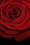 Soft red rose Royalty Free Stock Images