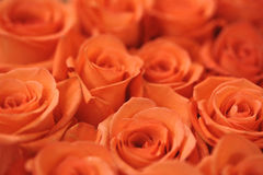 Soft red roses Stock Photography