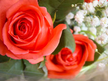 Soft red roses. With small white flowers background Royalty Free Stock Images