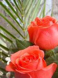 Soft red roses. With small white flowers background Royalty Free Stock Photo