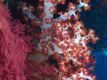 Soft red teddybear coral. On a tropical hard coral reef  in Bali in Indonesia Royalty Free Stock Image