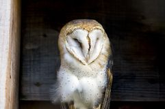 Soft and regal barn owl perched between wooden planks in a count stock photography