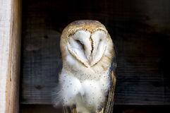Soft and regal barn owl perched between wooden planks in a count Stock Image