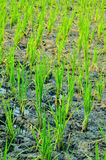 Soft rice are growing up Stock Photo
